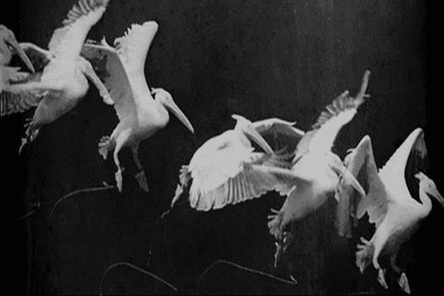 Chronophotographie d'oiseaux